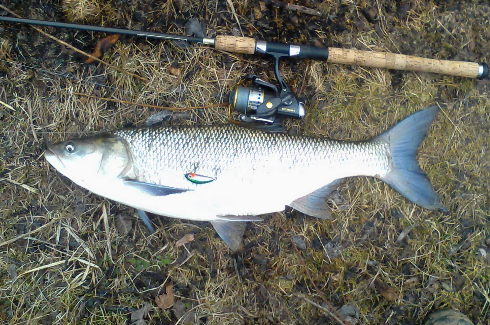 трофейная рыба жерех