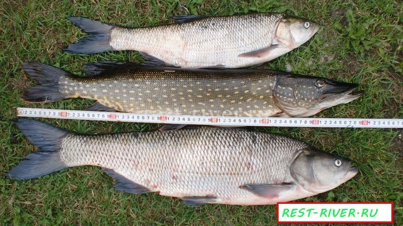 фото размеры жереха, Жереха что за рыба? сравнение жереха с щукой