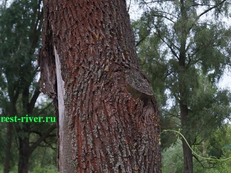 фото коры ивы