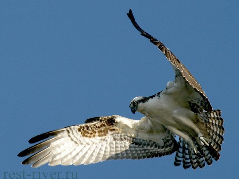 птица скопа