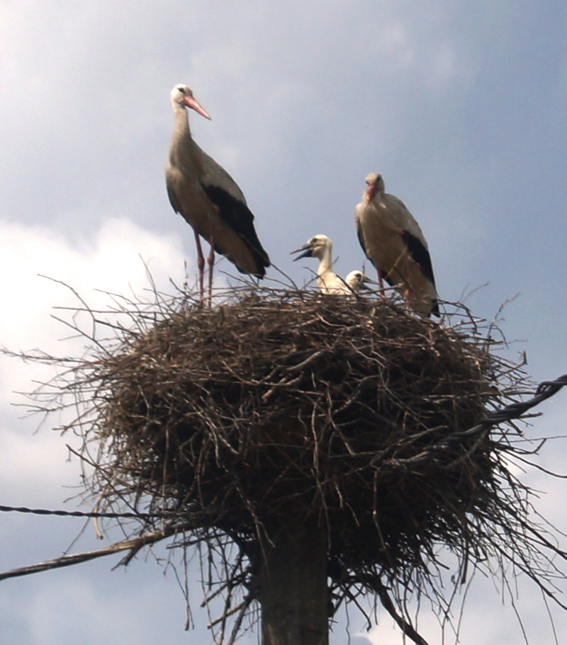 семья аистов