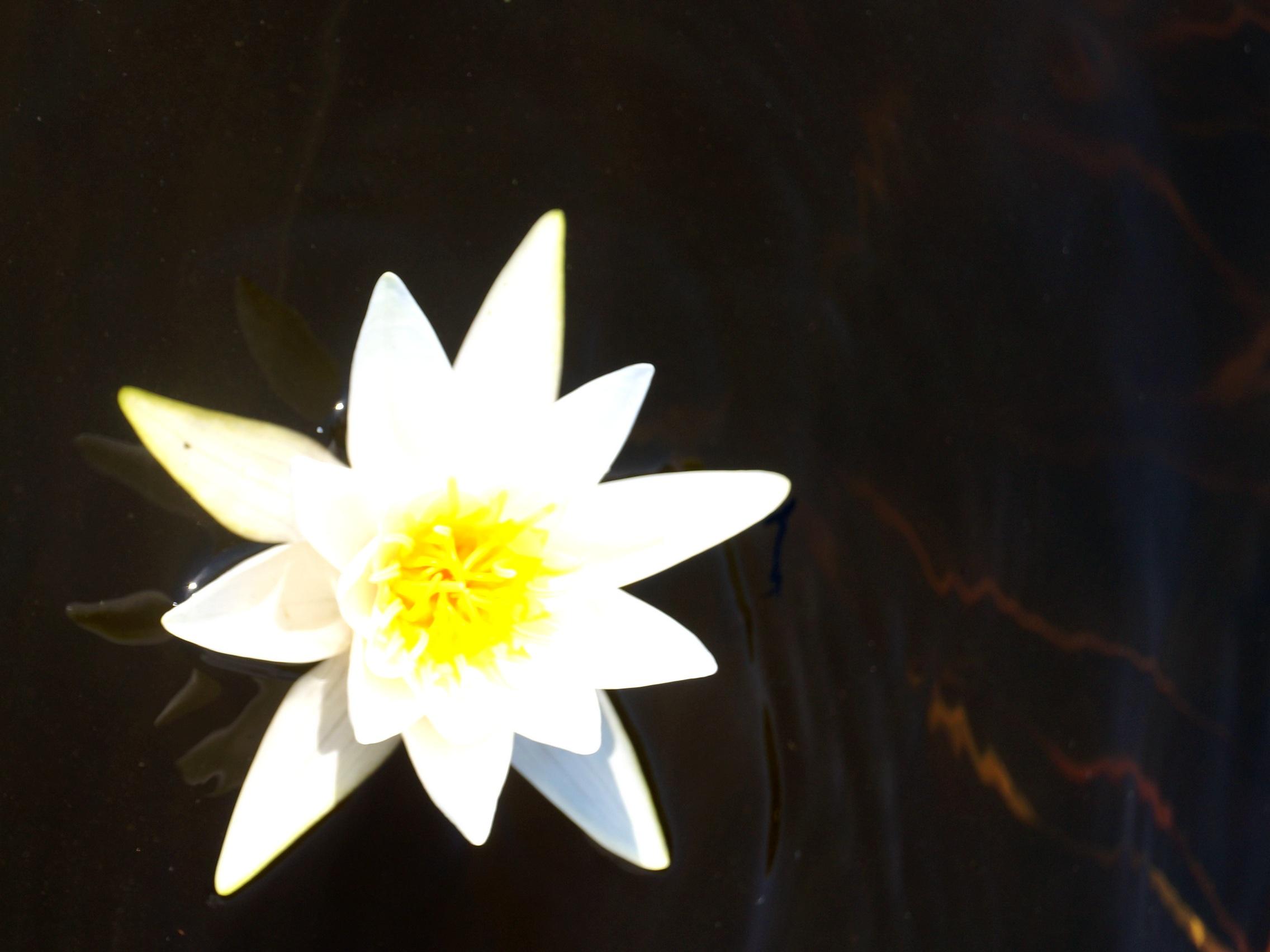 фото цветка - озёрная кувшинка