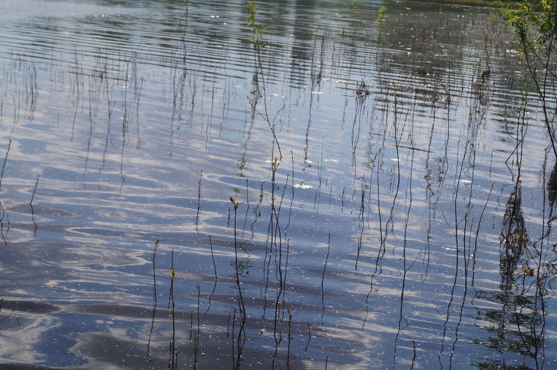 поросль ивы в воде