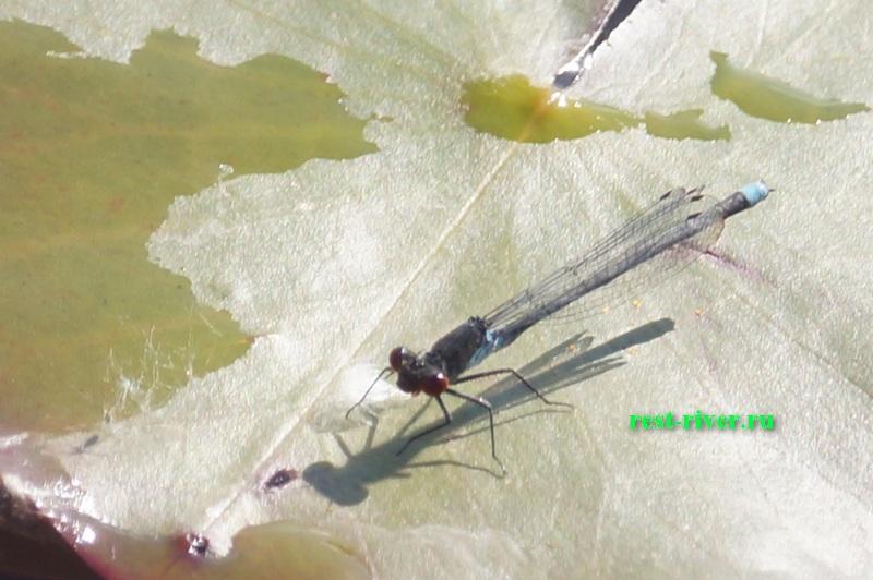 "стрекоза ""КРАСОТКА-ДЕВУШКА"" крупным планом на кувшинке (Calopteryx virgo)"