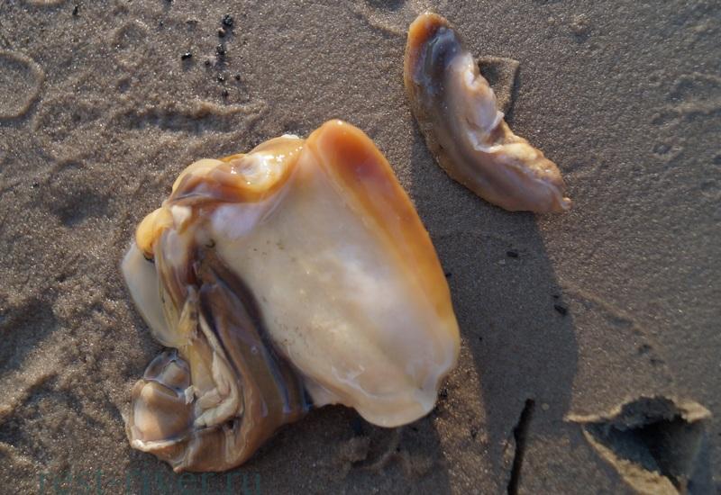 фото внутренности ракушки перловицы
