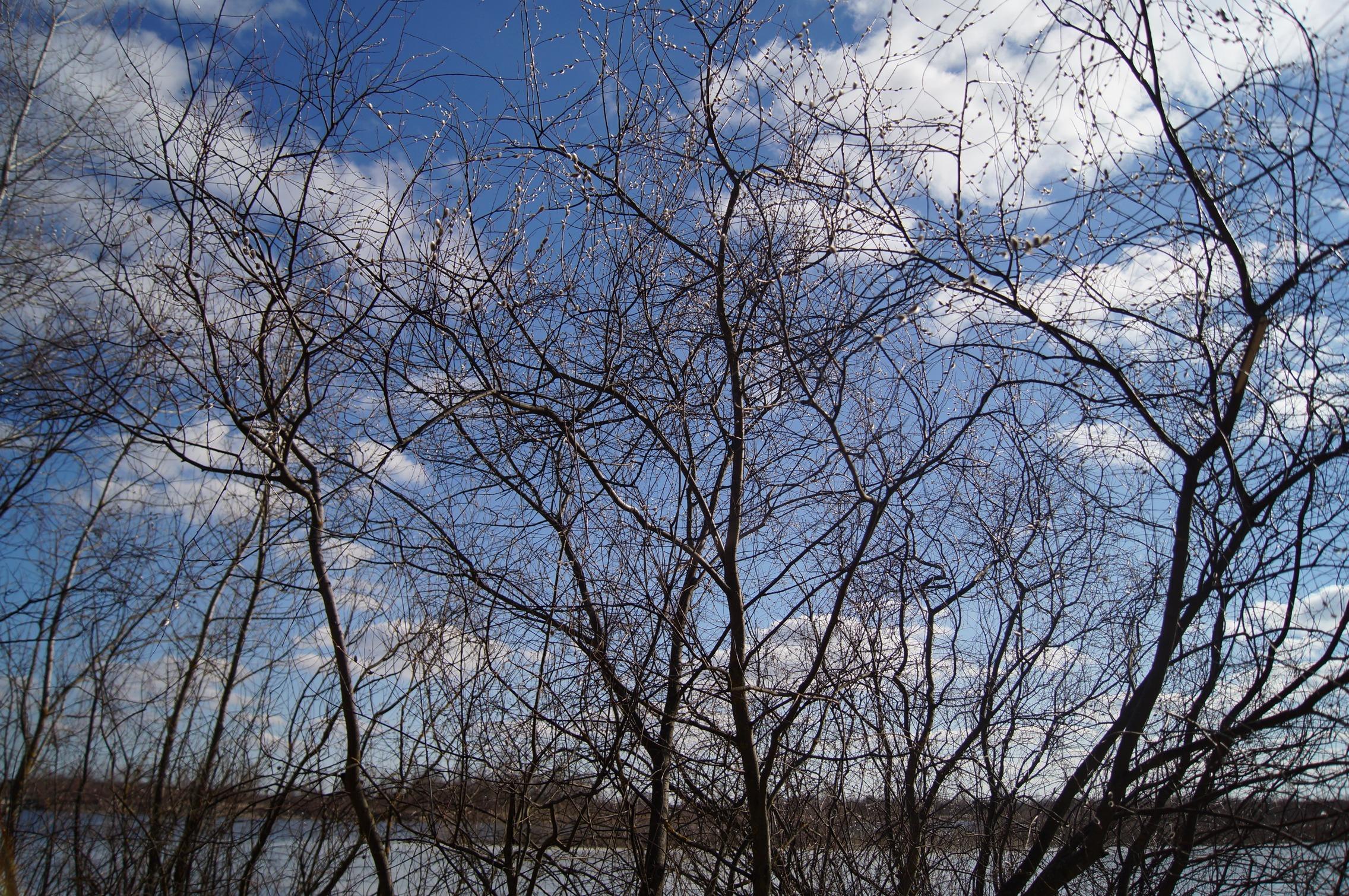 фото верба весной у реки