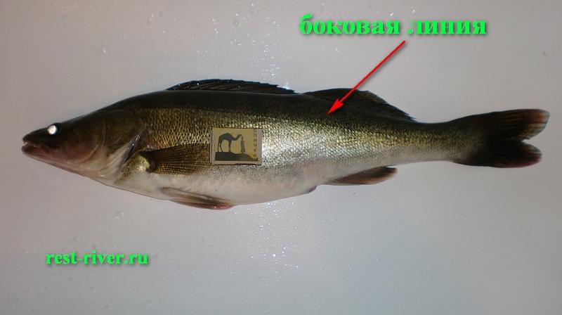 фото боковой линии у судака