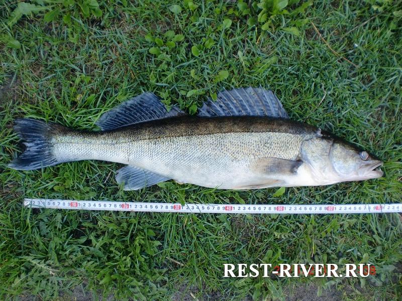 рыба судак фото и описание размеров