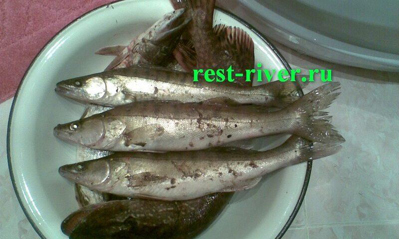 судаки с ночной рыбалки