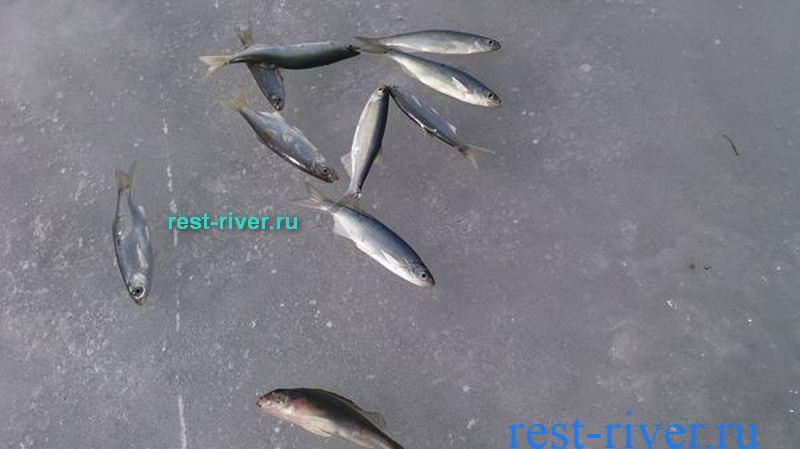 фото рыба себель (уклейка) зимой