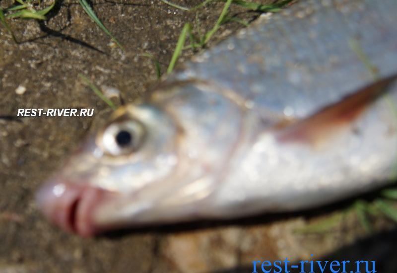 рыба подуст
