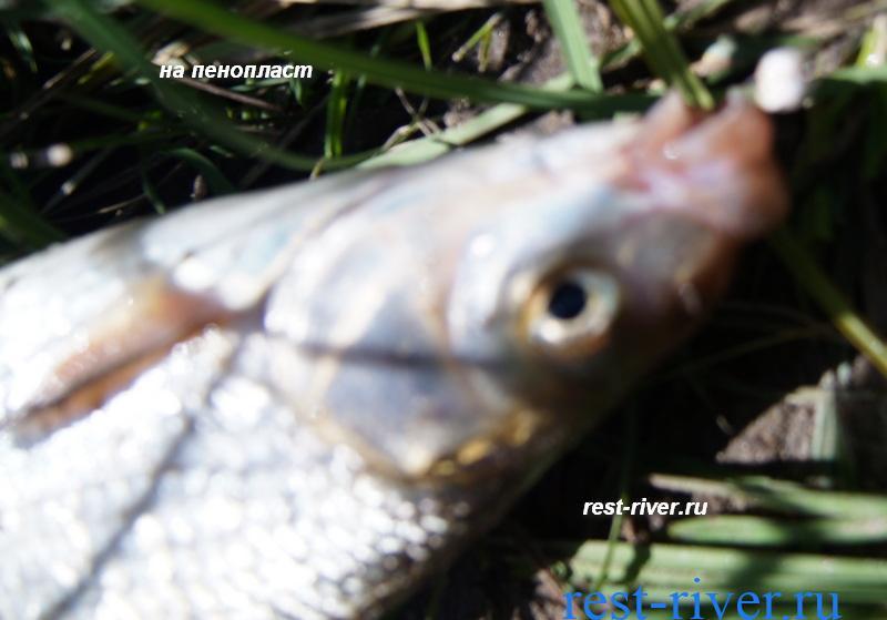 пример реальной рыбалки на подуста на пенопласт
