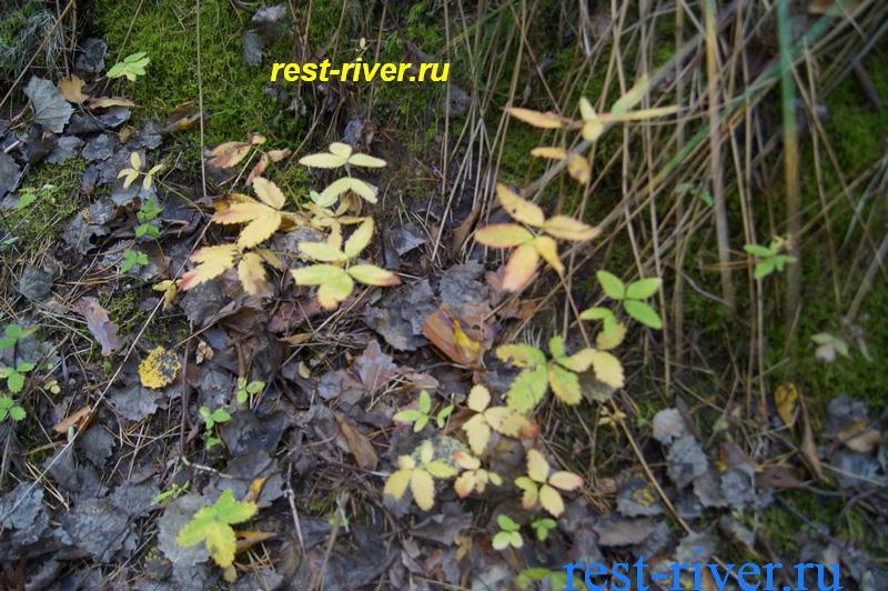 фото сабельник болотный осенью