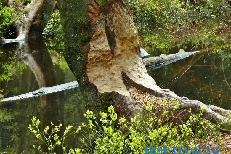 бобр обгрыз дерево