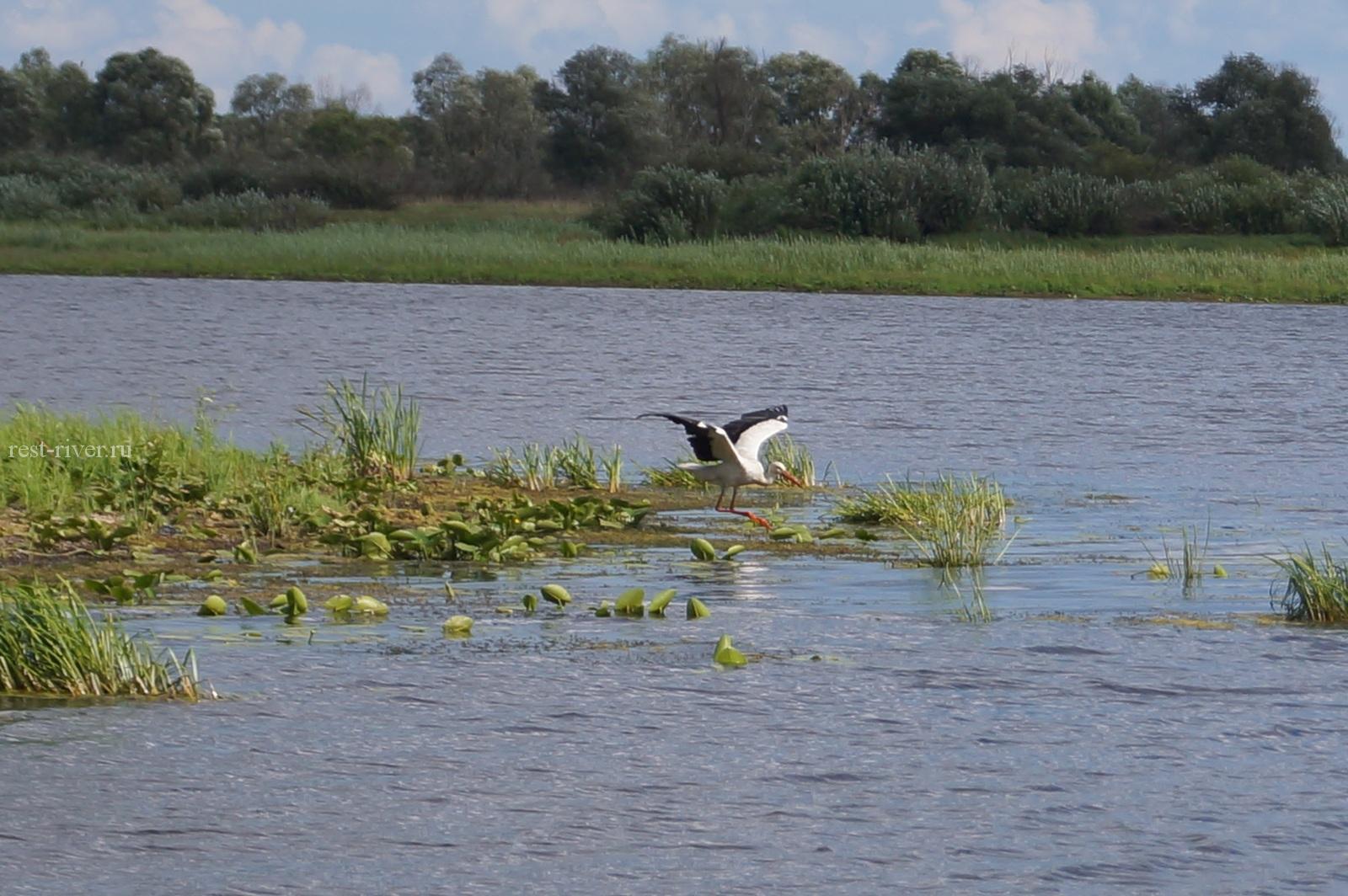 Белый аист летит над водой