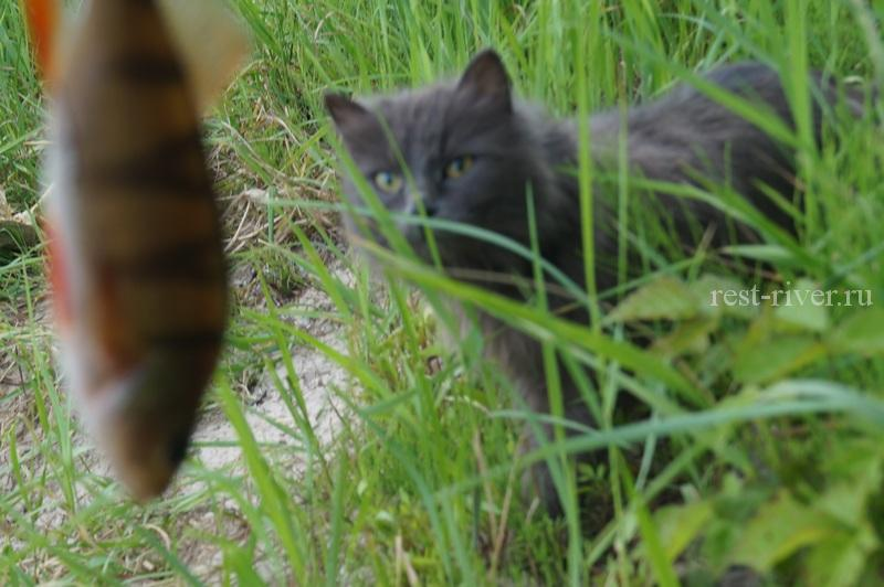 кот жадно смотрит на рыбу