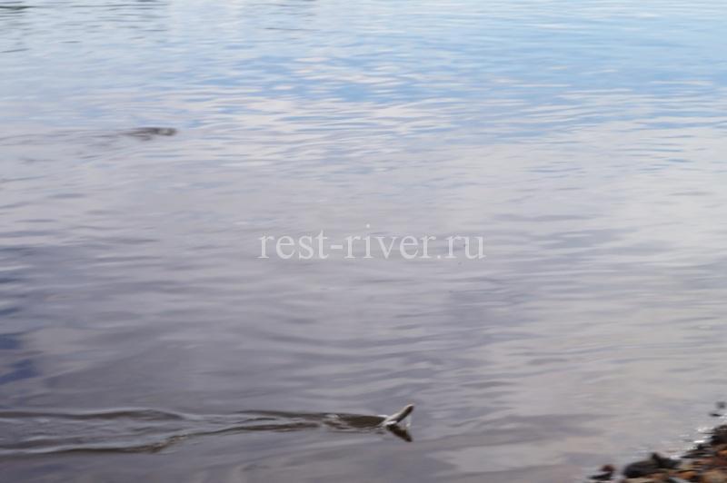 пойманная плотва поплавочной удочкой в проводку