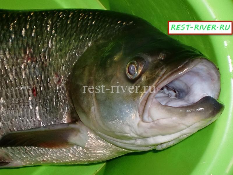 фото жерех, пасть рыбы