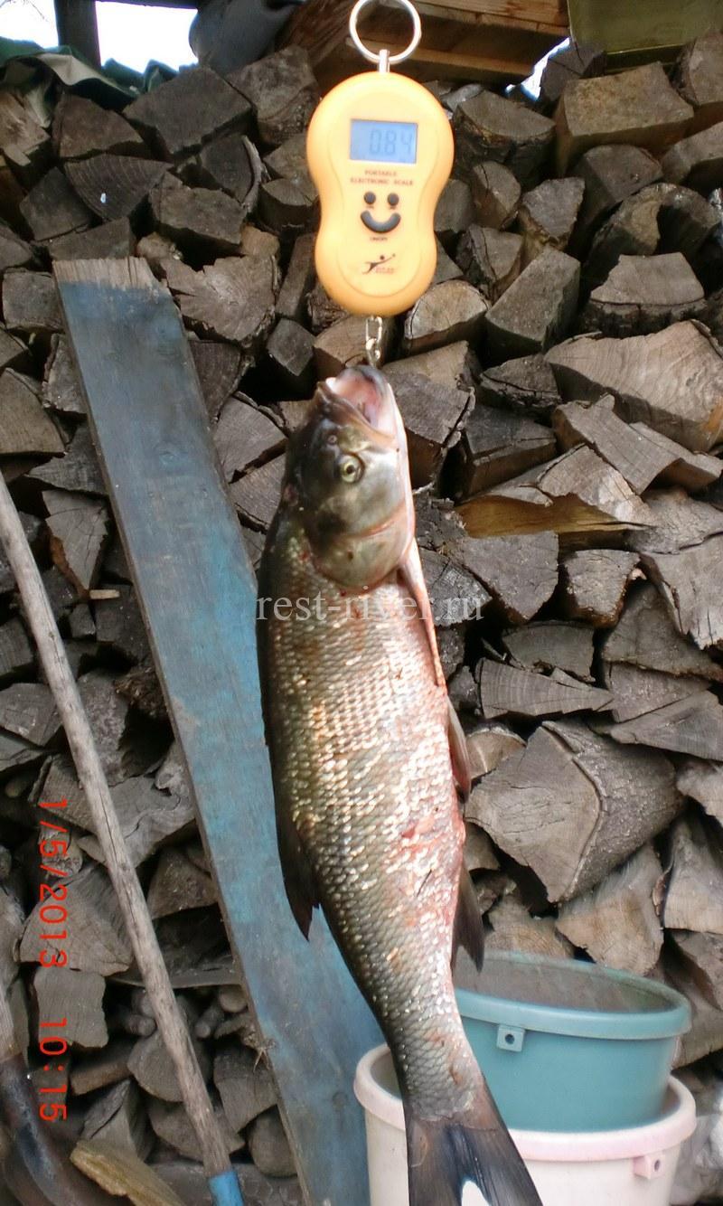 измерение веса единичного рыболовного трофея