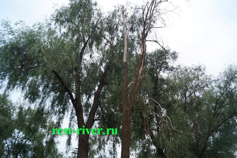 фото засохшей ивы