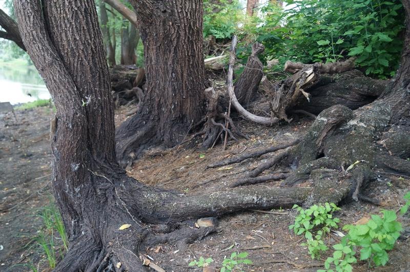 фото ива - корни ивы
