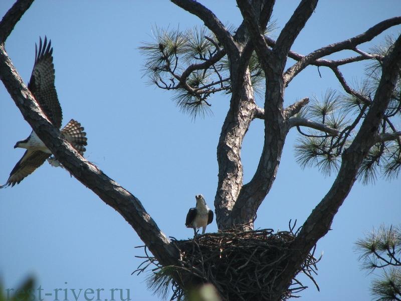 гнездо скопы