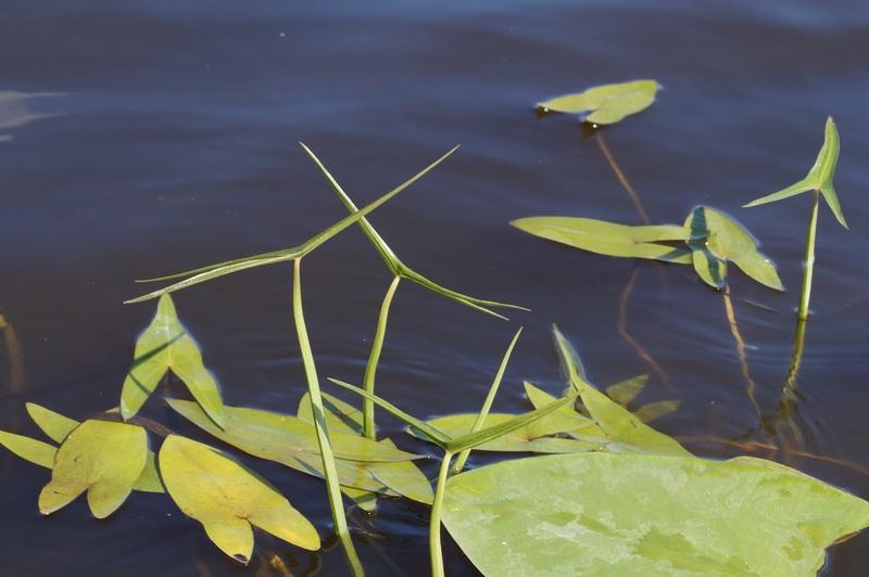 фото разная форма листьев стрелолиста