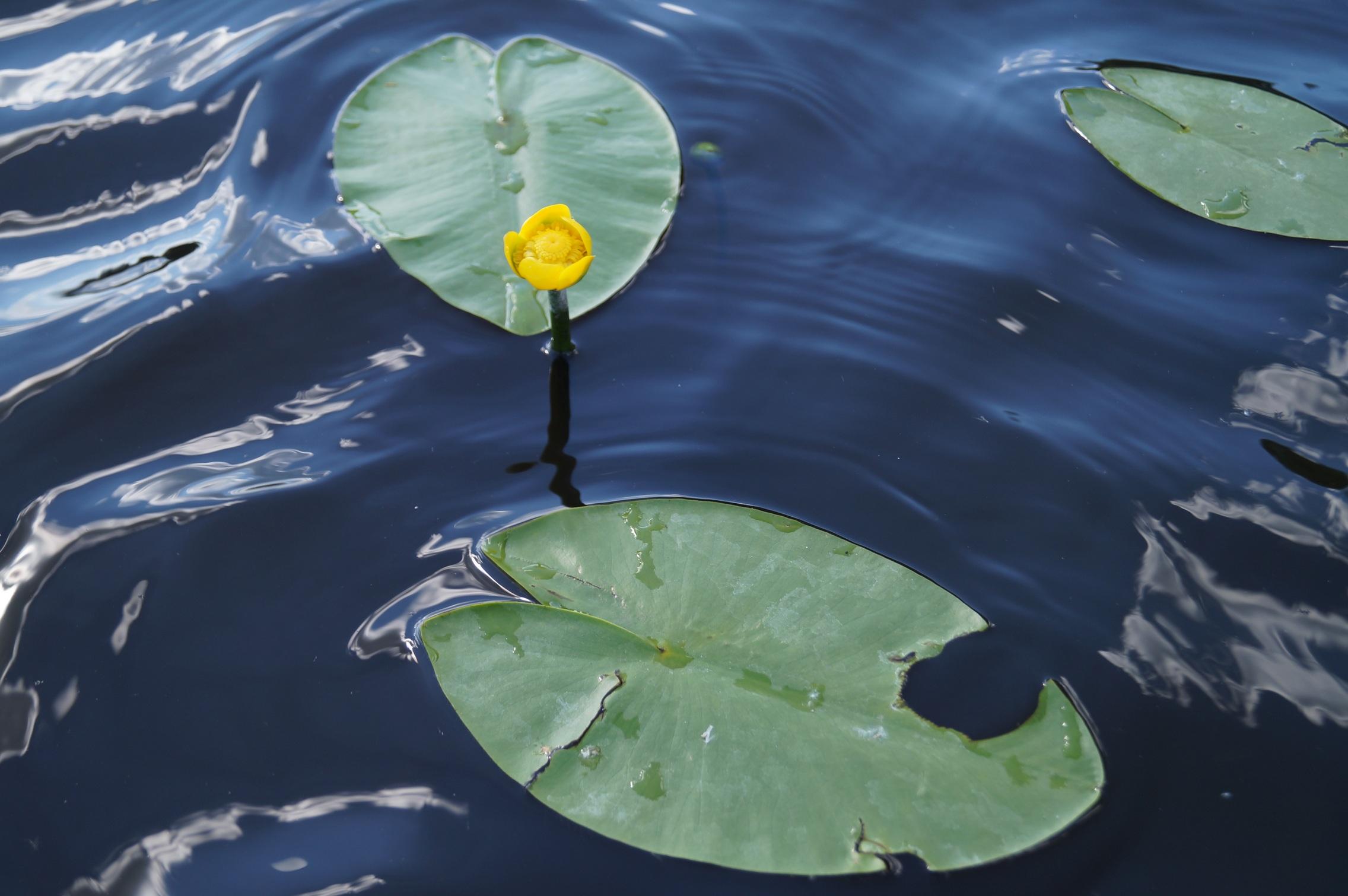 фото цветка озёрная кубышка