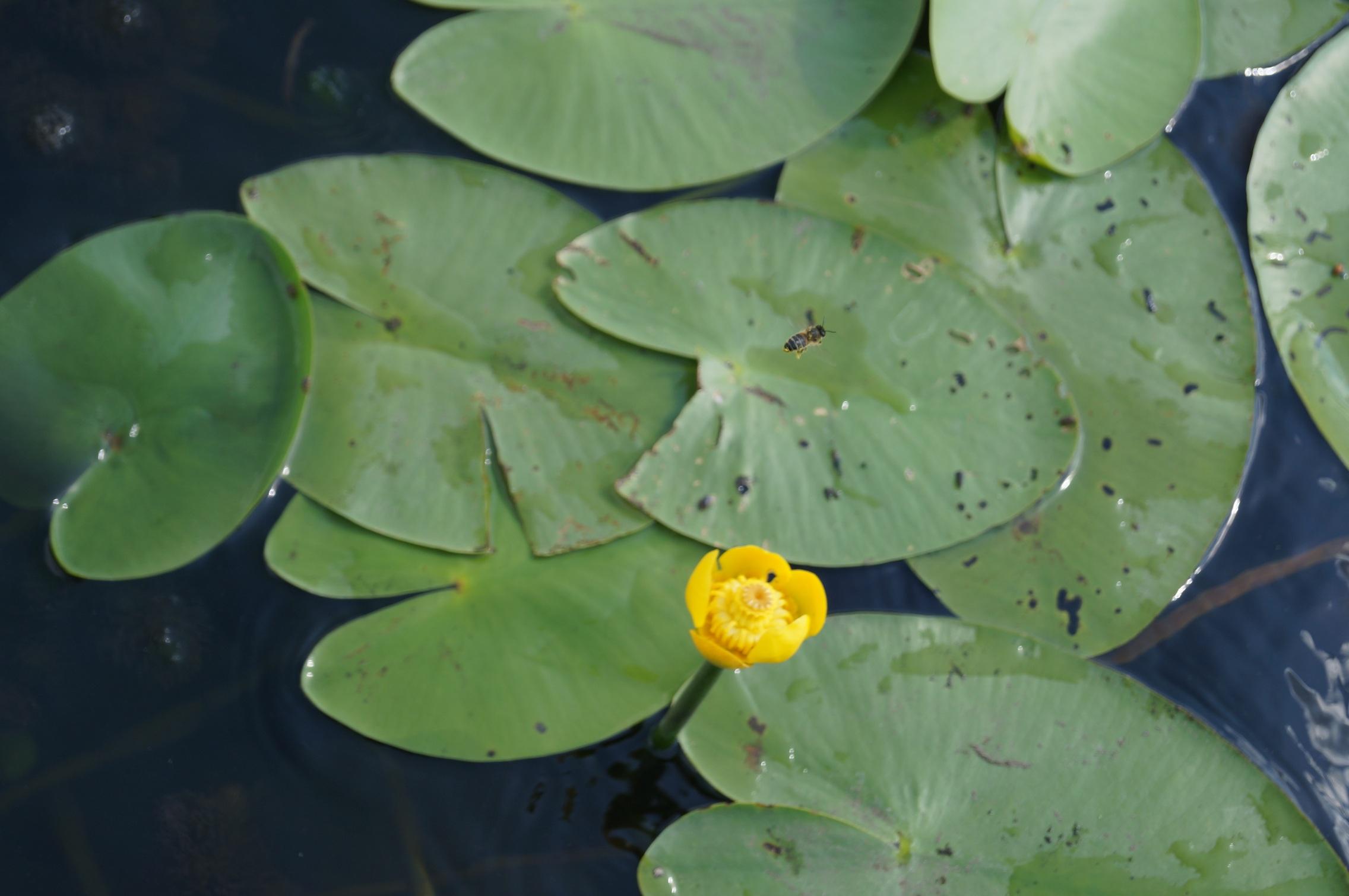 фото пчела над речной кубышкой