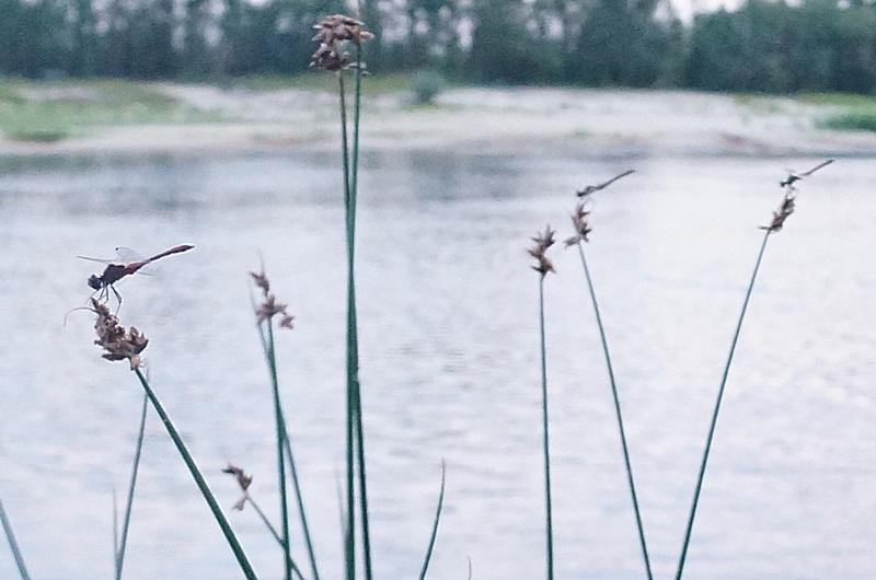 стрекозы возле воды