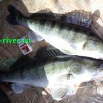Рыба судак фото и описание. Отличия судака от других рыб.