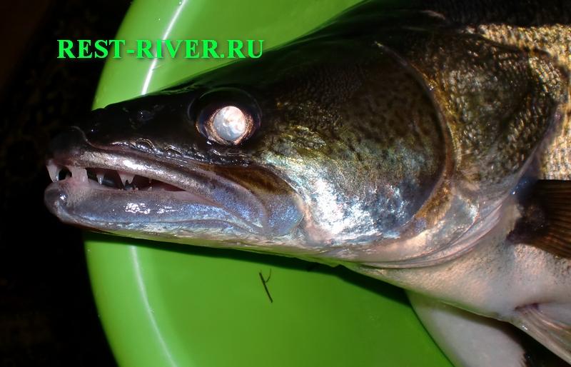 фото головы рыбы судак