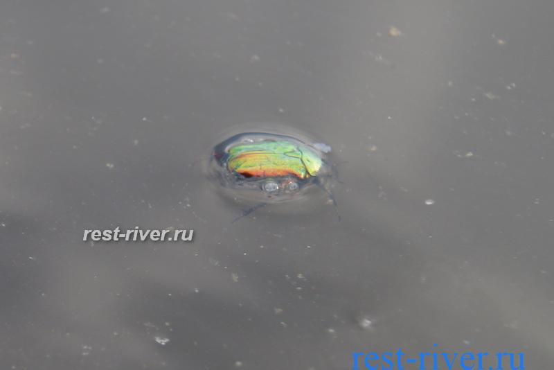 фото жук в воде