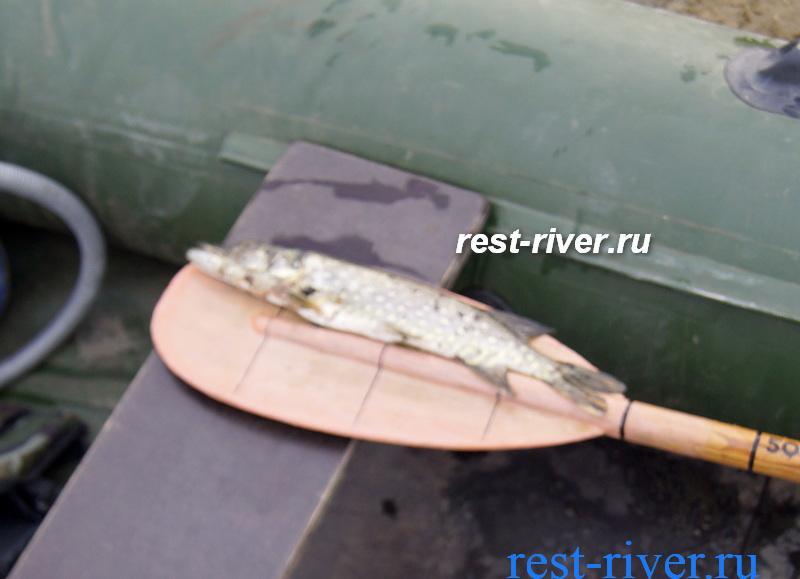 измерение размера рыб пойманных на жерлицу
