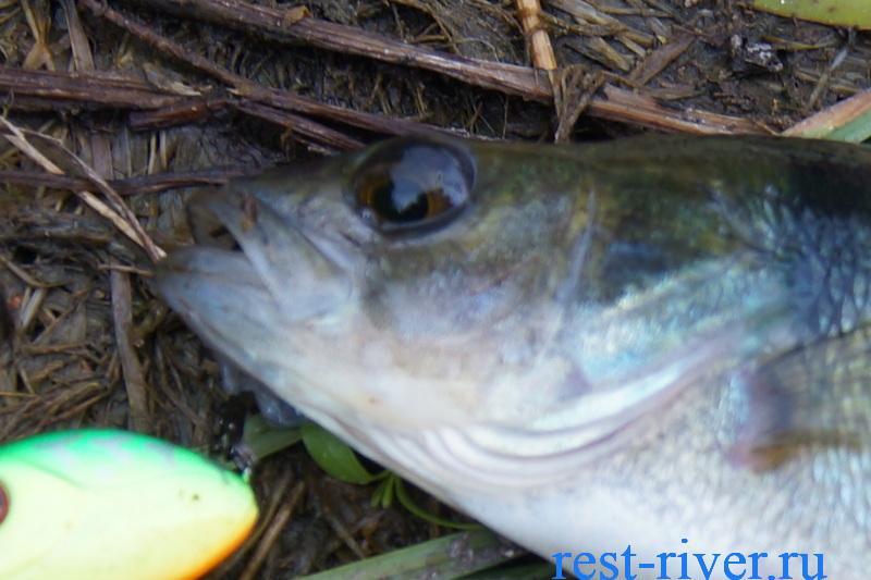 рыба окунь свойства