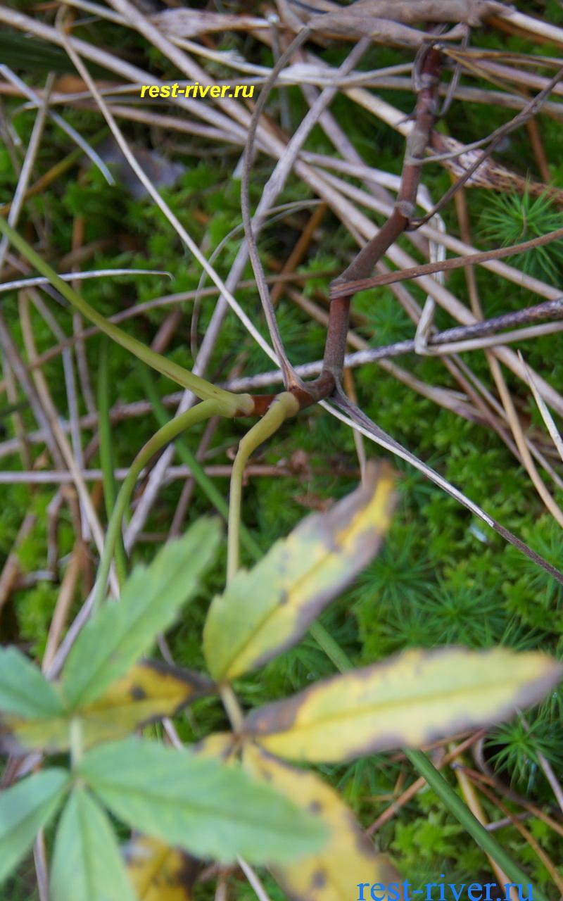 фото корня сабельника болотного крупно