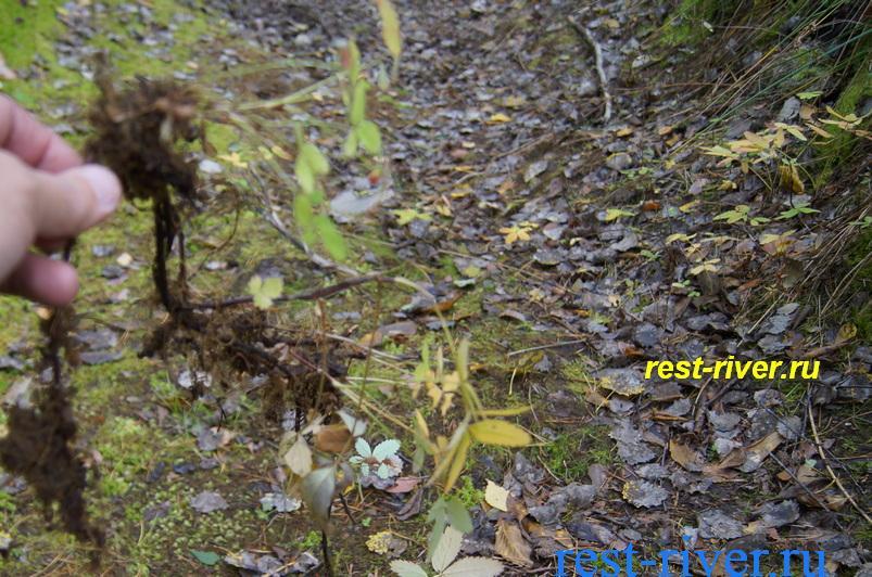 фото корня сабельника болотного